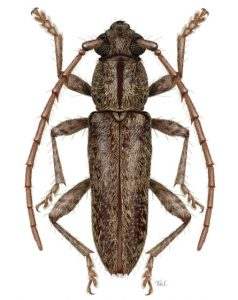 Longhorn beetle illustration by Taina Litwak (Elaphidion costipenne)