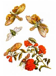 Colored copper engraving from Metamorphosis insectorum Surinamensium